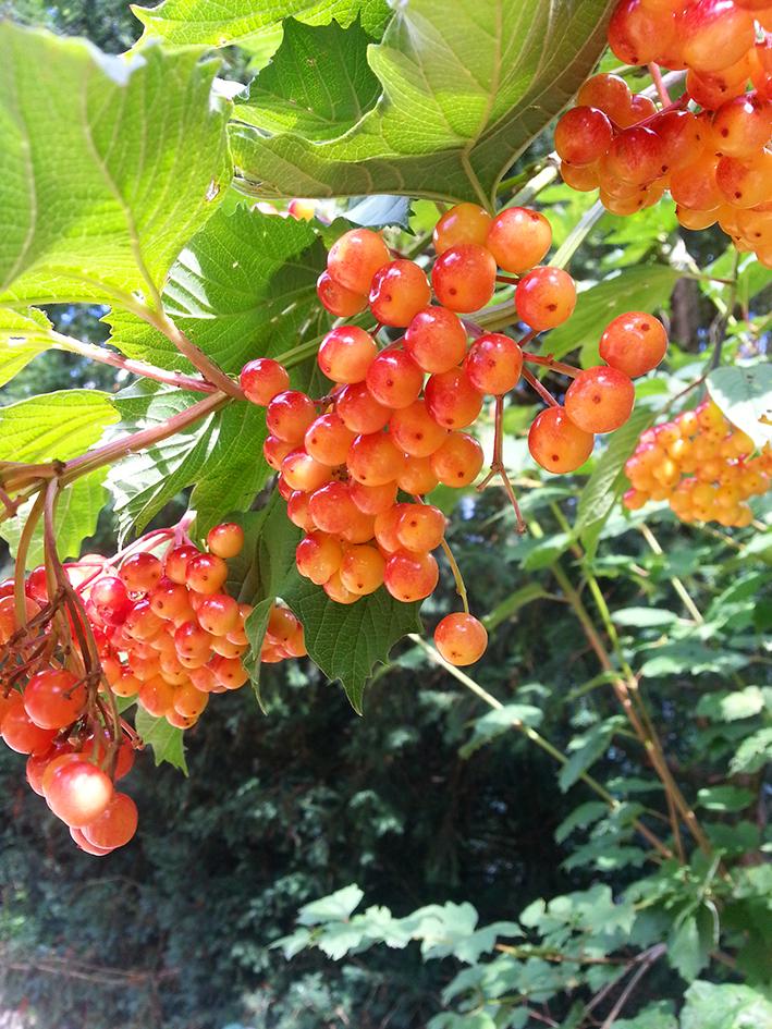 orange berries at autumn