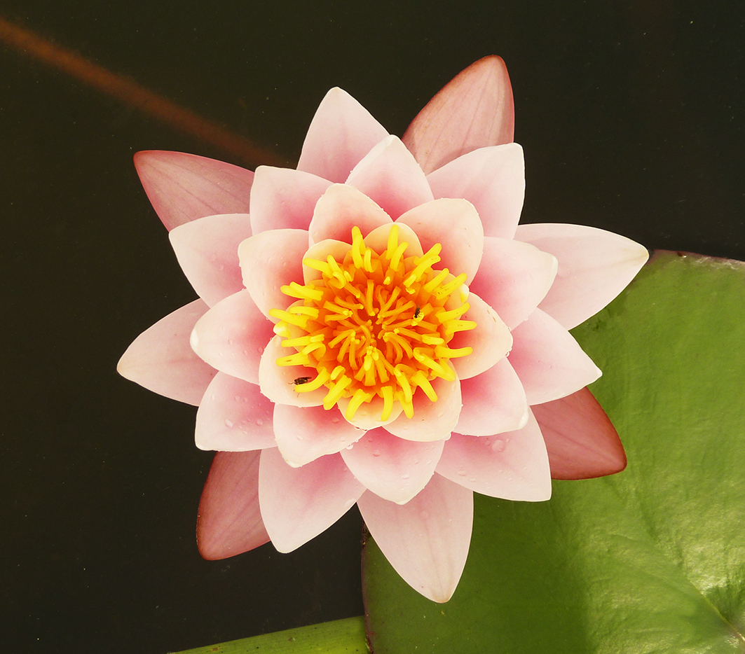 soft red waterlily