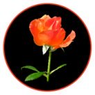 example of rose clipart