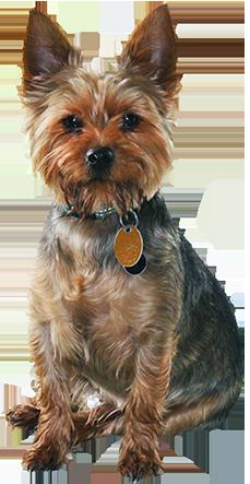 small ruffled brow dog