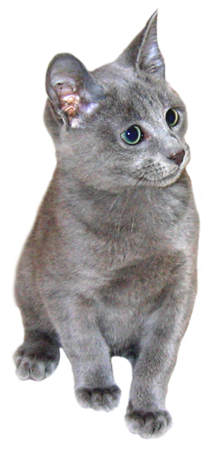 Russian blue kitten clipart