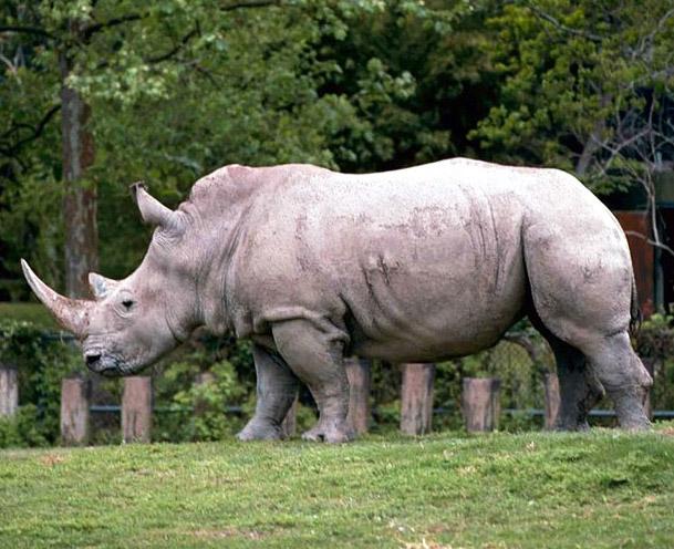 White african rhino