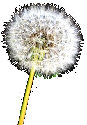 Seeds of Dandelion