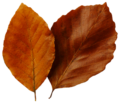 beech leaves clipart