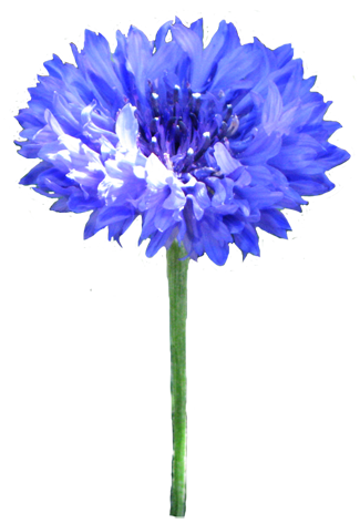 Blue cornflower clip art
