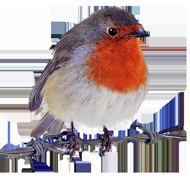 robin clipart