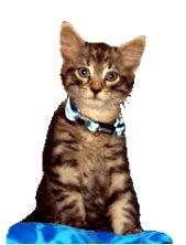 Kitten with diamonds