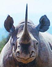 Black rhinoceros head
