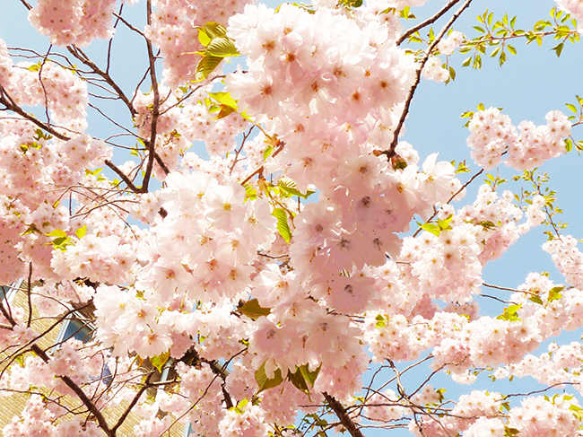 Japanese cherry blooming in the spring