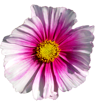 pink flower with yellow stamens