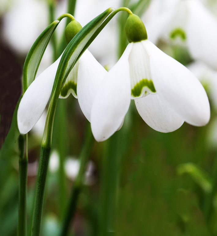 two snowdrops