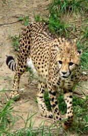 cheetah picture walking