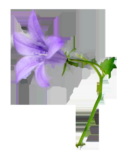 Harebell flower clipart