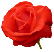 red red rose for Valentine