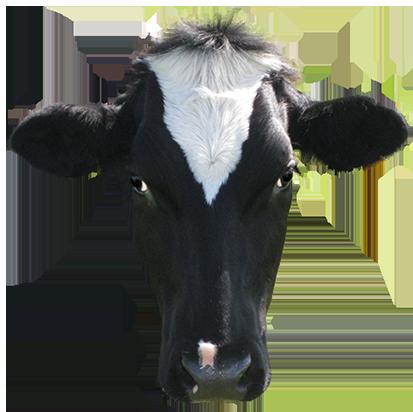 black-cows-head