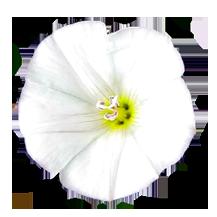 bindweed white