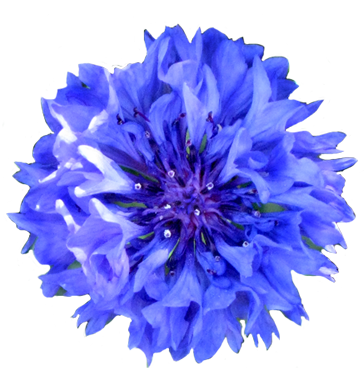 Head of blue cornflower