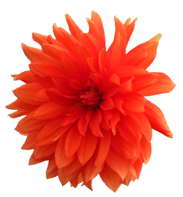 clip art orange dahlia