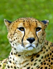 face of guepard