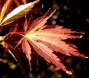 Fall clip art red leaf