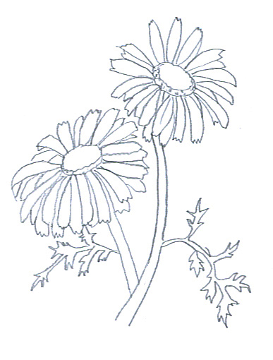 flower sketches chrysantemum