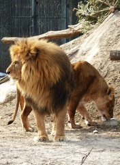male and female lion in zoo
