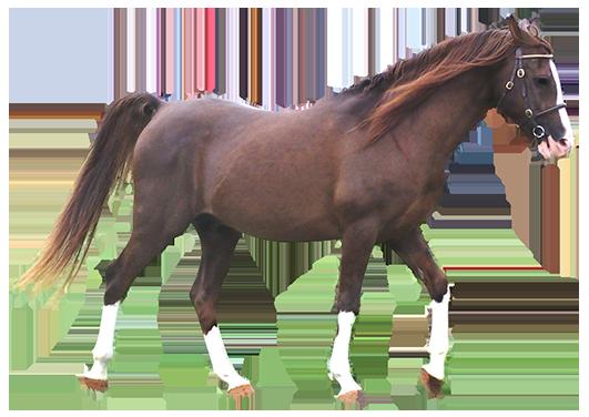 arabian horse dark chestnut
