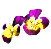 spring clipart pansy