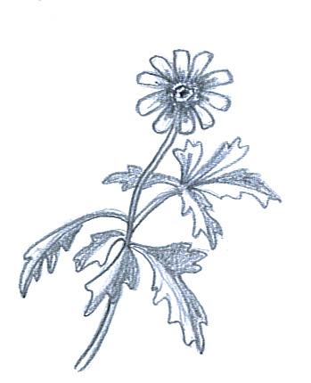 flower sketches anemone hepatica