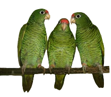 tucuman parrots green red