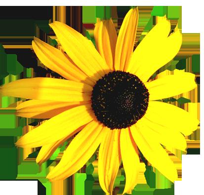 Beam coneflower yellow