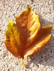 first day of fall  brown leaf