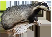 badger clip art