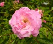 rose photo pink rose