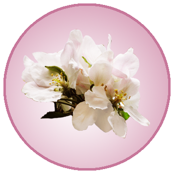 circle with apple blossom in spring