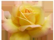 Valentine soft yellow rose
