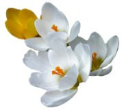 spring clipart crocus white yellow