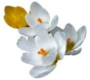 spring clipart crocus white yellow