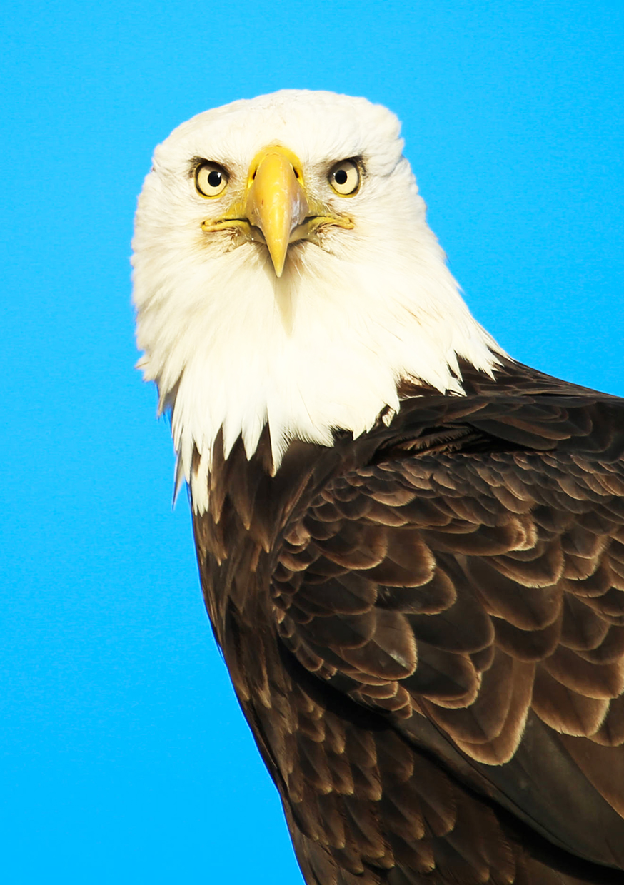 frontal picture head of bald eagle