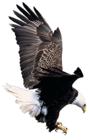 bald eagle landing clipart