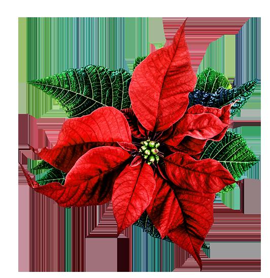 christmas flower clip art