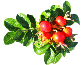 rose hips and leaves