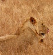 leones in high grass