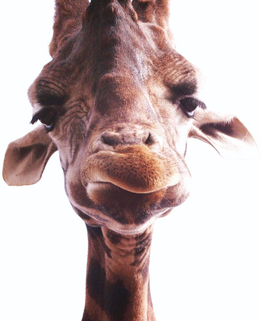 giraffe head close