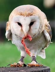 owl fact owl eating