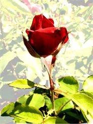 Valentine day rose red
