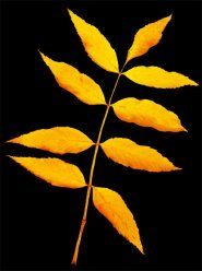 fall leaf on black background