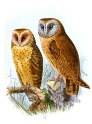 barn owl and ashy faces owl clip art