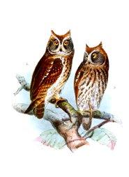 owl pictures eurasian scops owl oriental scops owl