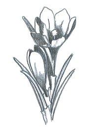 flower sketches crocus